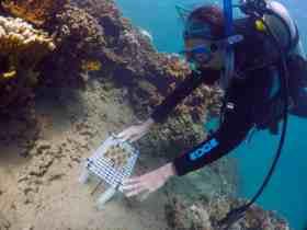 coral transplant